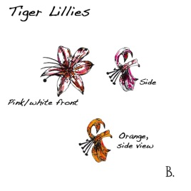 tigerlily-colour-web